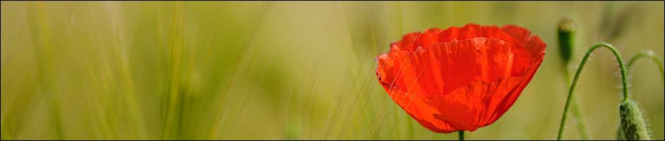 Poppy with Nikkor AF 180mm/2.8 EDn